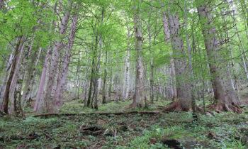 Birkenwald in den Allgäuer Alpen