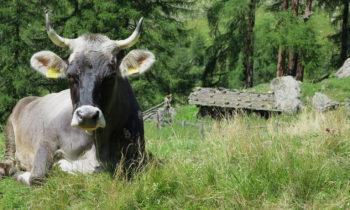 Kuh auf der Alpenüberquerung auf dem E5