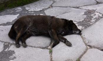 Straßenhund in Pompeji