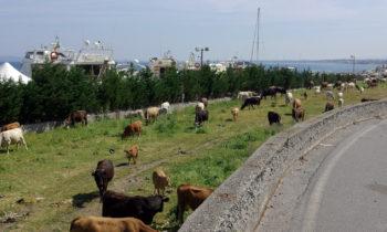 Kühe bei Milazzo