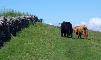 Highland Rinder in Schottland
