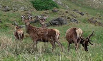 Rehe in den schottischen Highlands
