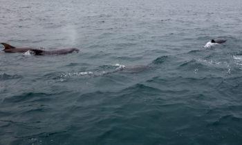 Delfine bei der Überfahrt von Mull nach Staffa
