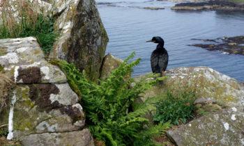Kormoran auf Lunga, Treshnish Isles