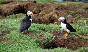 Papageientaucher in Schottland