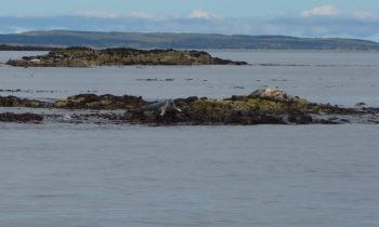 Seelöwen nahe Staffa