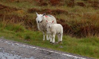 Schottische Schafe am Straßenrand