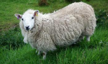 Schottisches Glamour Schaf
