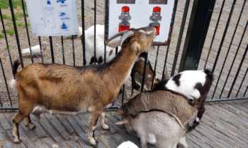 Ziegenfütterung im Jardin des Plantes