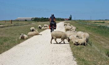 Schafe am Rand der Vélodyssée