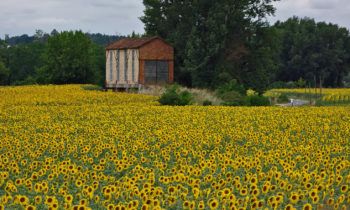 Sonnenblumen in Nouvelle-Aquitaine