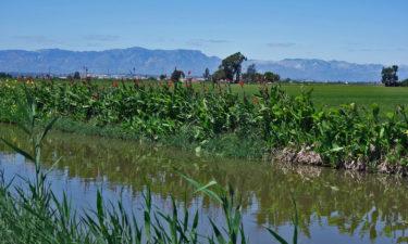 Reisfelder im Ebro Delta