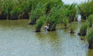 Flamingo im Ebro Delta