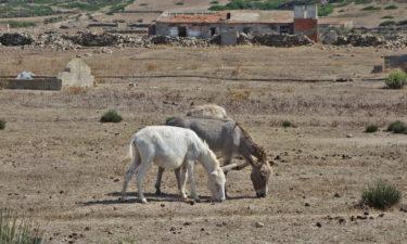 Freilebende Esel auf Asinara