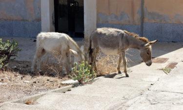 Esel in Cala Reale auf Asinara