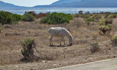 Leuzistischer (Albino) Esel auf Asinara