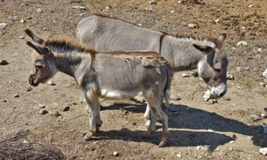 Wilde Esel auf Asinara