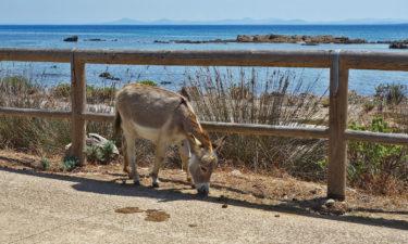 Wilder Esel auf Asinara