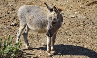 Wildesel auf Asinara