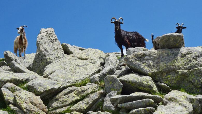 Ziegen auf dem GR 20 auf Korsika