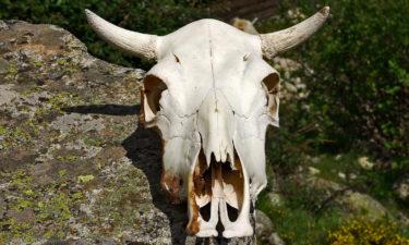 Rinderschädel nahe dem Refuge de l'Onda