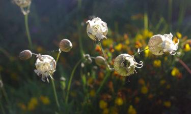 Bergblumen auf Korsika