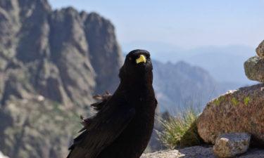 Alpendohle am GR 20 auf Korsika