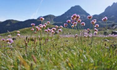 Bergblumen am GR11