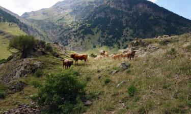 Kühe in den Pyrenäen